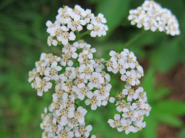 yarrow close up
